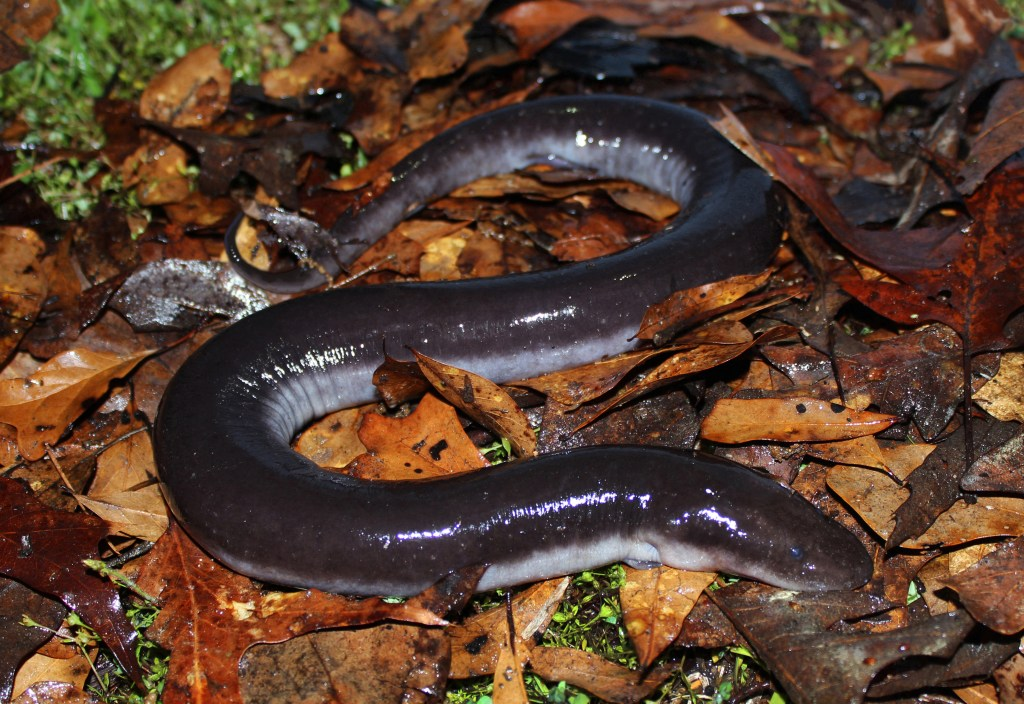 Three Toed Amphiuma