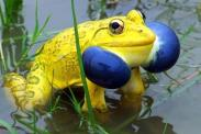 indian-bullfrog