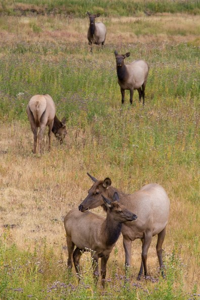Elk at yellowstone national park