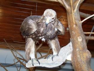6) Golden Eagle on display