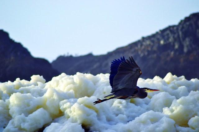 blue heron flies along the foamy beach