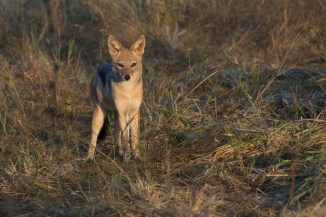 A young black-backed jackal