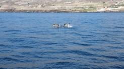 Delfinii din Tenerife. FOTO Adrian Boioglu