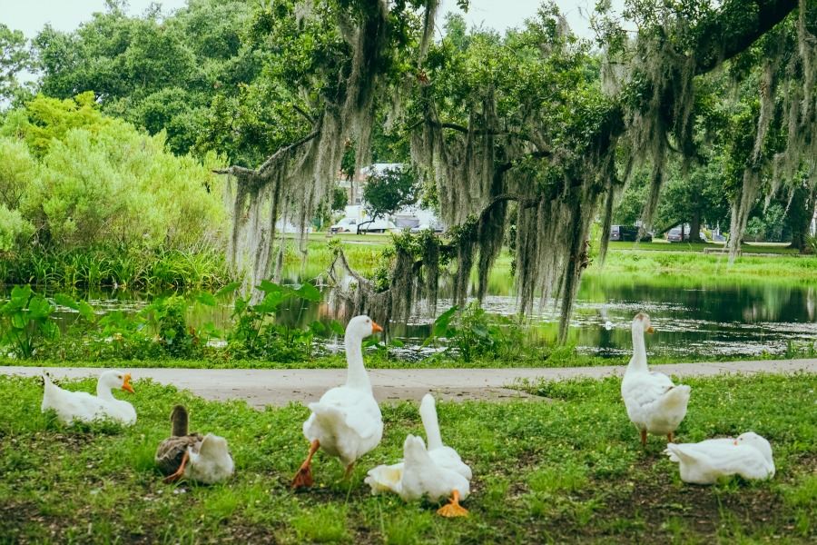 Ducks at City Park. (Photo: Paul Broussard)