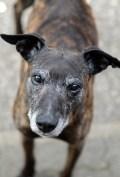 Kayko (12) - alias Bärli - mein Herzhund