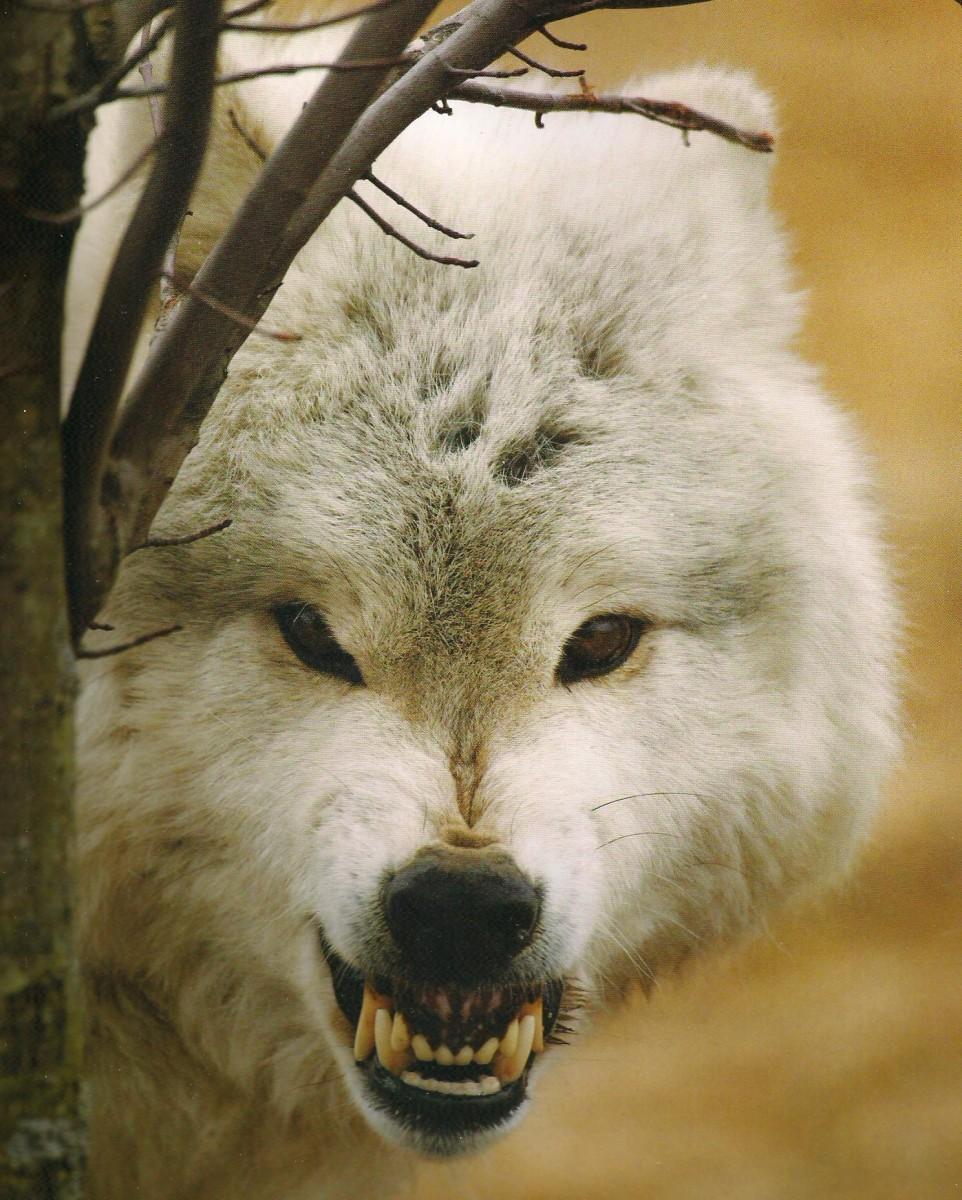 El lobo, animal salvaje cargado de simbolismo en la fratría guerrera y parte fundamental de sus ritos. (Reproducido de Shaun y Sloan 2006).