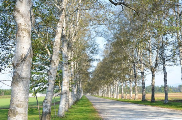 Otofuke, White Birch Tree Avenue in Tokachi Ranch