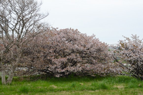 Chishima Cherry Tree in Former Observatory