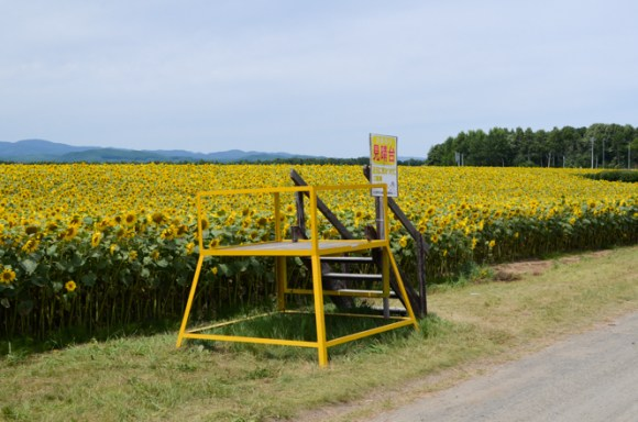 Memanbetsu Airport Sunflower Fields in Ozora
