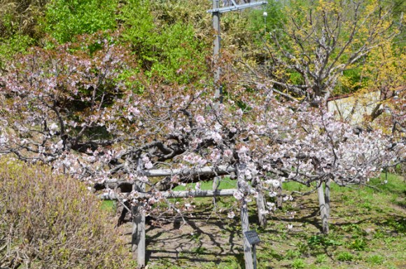 Cherry Blossoms of Temiya Park in Otaru