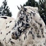 Introduction To Appaloosa Patterns Genetics Good Horse