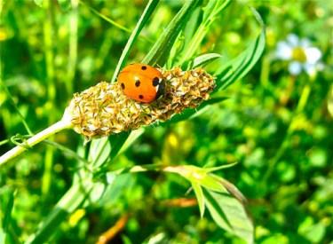 Ladybird_in_Velez