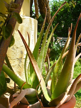 Aloe vera for imortality