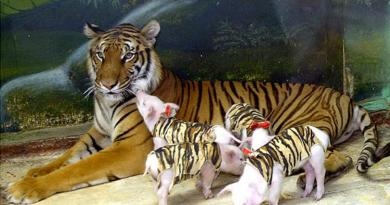 The Tiger Who Adopted a Litter of Piglets