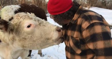 Cow Who Escaped NYC Slaughterhouse Celebrates His Freedom Anniversary in the Sweetest Way