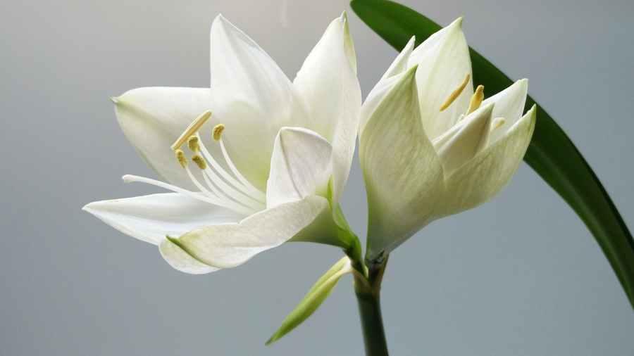 close up photography of white amaryllis flowers