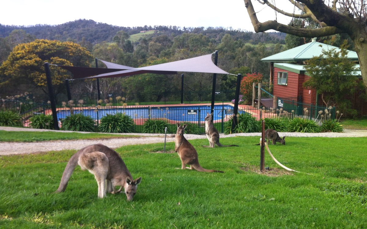 Yarra Valley Estate pool with kangaroos