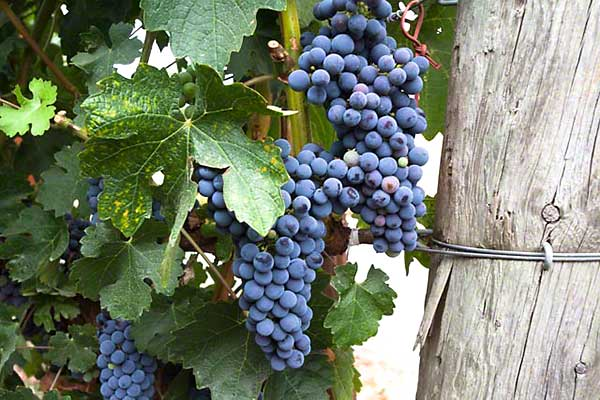 Napa Valley Cabernet in St. Helena AVA