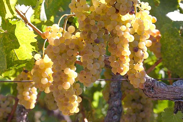 about sauvignon blanc