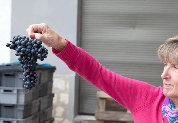 Grenache grape cluster in Rasteau in the Southern Rhone