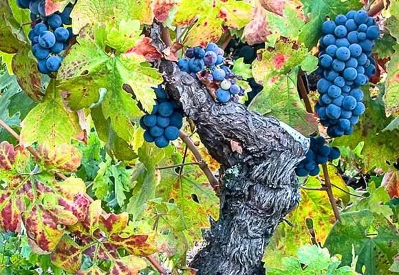 Old vine Zinfandel in full bloom