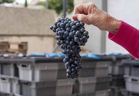 Grenache grape in southern Rhone
