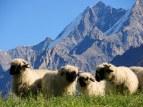 Black-faced Valais sheep.