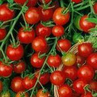Cherry & Small Tomatoes