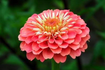 zinnia, flower, orange