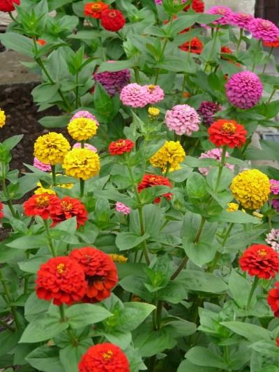 zinnia, flowers, colorful