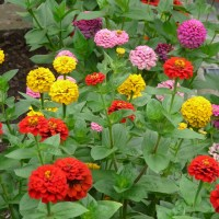 zinnia, flowers, colorful