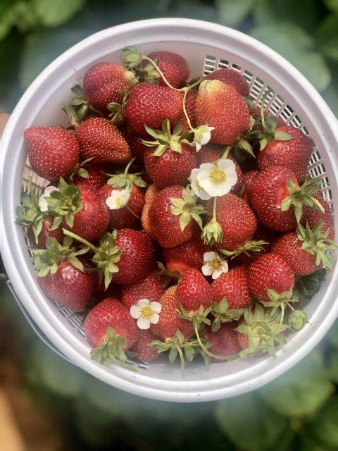 fresh picked strawberries gfb