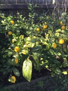 Our lemon tree.