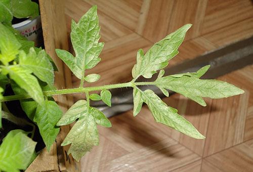 Рассада помидоров побелела почему белеют листья у томатов