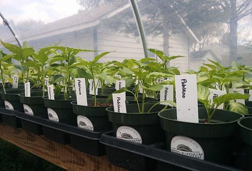 Когда сажать баклажаны в открытый грунт и высаживать рассаду