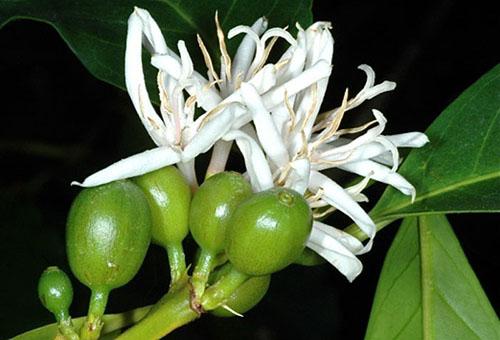 caféier feuilles vertes légères