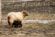 Deva and lambs