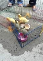 Ducks at GoodHearts on the Reading Fall Street Faire