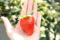 イチゴ狩り茨城県で予約なしで無制限しかも食べ放題!バームクーヘンも!