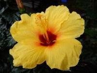 ハイビスカスの育て方と花が咲かないのは植え替えと肥料や剪定が原因?