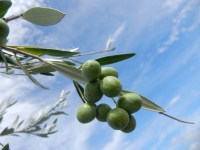 オリーブをベランダで育てる!土の選び方や作り方・虫や栄養不足に注意!