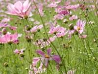 昭和記念公園のコスモスとそばの花2017の開花状況と周り方、アクセスが良い入り口は