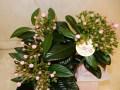 ニオイザクラの育て方 花が咲きやすい剪定の方法と植え替えの管理