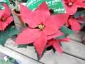 クリスマスの花のポインセチアの育て方で意外と知らない注意点が!