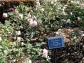 新宿御苑の秋のバラと冬桜や皇帝ダリアの見頃はいつ!