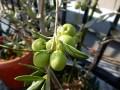 オリーブの収穫時期 実の色で塩漬けのタイミングが早わかり!
