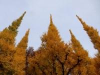 神宮外苑の銀杏並木の紅葉の見頃とアクセス 「君の名は」のシーンは!