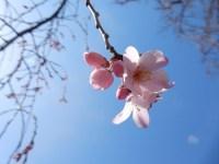 六義園と小石川後楽園のしだれ桜2019 現在の開花状況と見頃の予想
