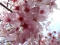 新宿御苑の桜の開花情報2017現在は!見頃が超長いのは理由がある