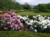 新宿御苑のバラの見頃と開花状況は!種類で気になる名前が
